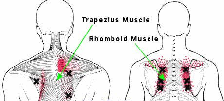 shoulder blade muscles