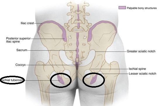 Ischial tuberosity surface anatomy in position to human body