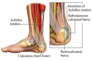 Anatomical view of Achilles Tendon