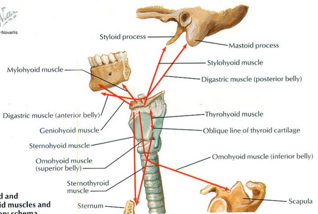 hyoid bone anatomy and related structures