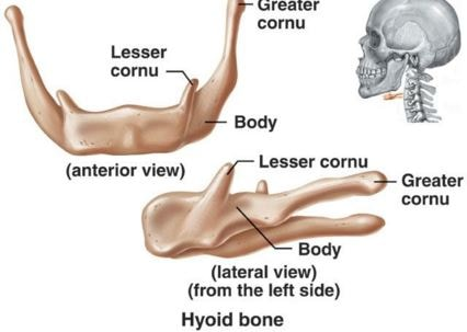 hyoid  bone parts