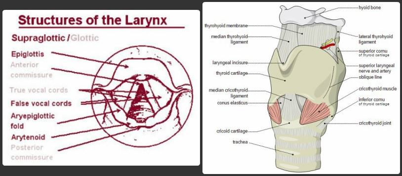 larynx cartilage related structures