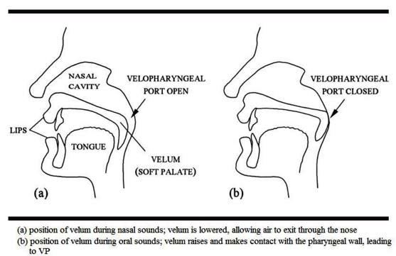 oral and nasal sounds physiology