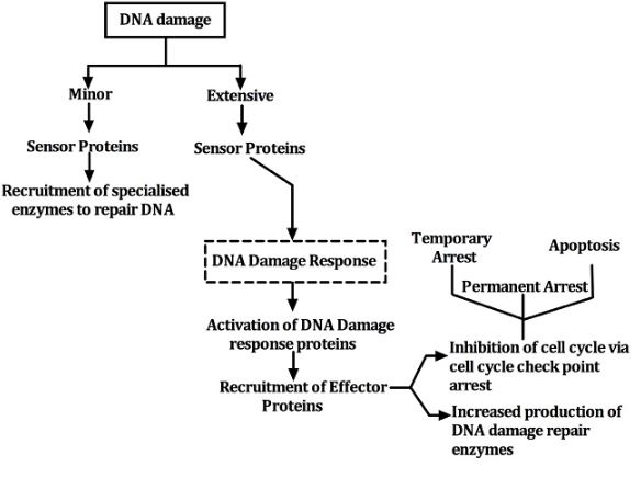 ataxia-telangectasia-pathogenesis