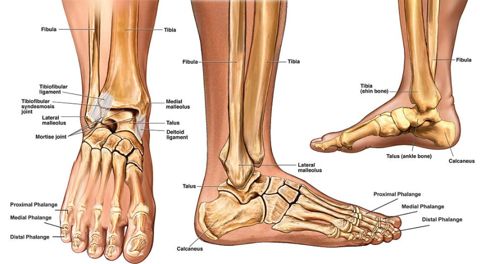 ankle-anatomy-ligaments-muscles-tendons-bones