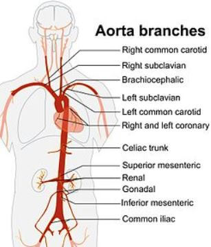 aorta and its branches